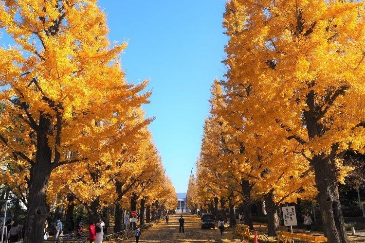 慶應日吉キャンパス 銀杏並木